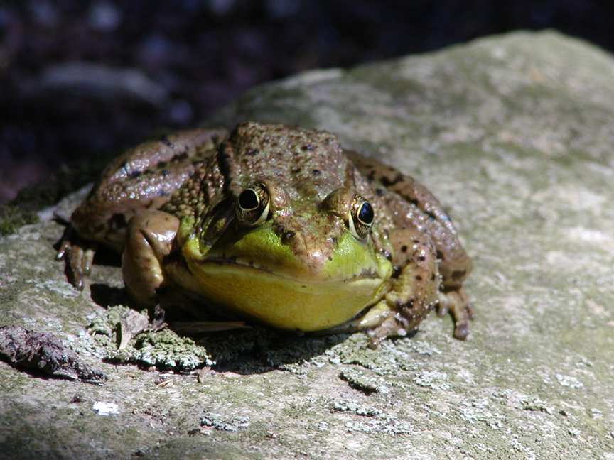 Photo of a frog, large picture