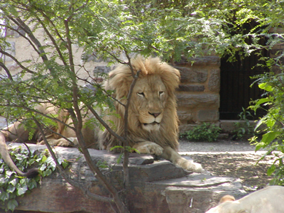 Lion photo, philadelphia zoo 2005
