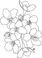 Japanese Cherry Blossoms Coloring Page for Adults